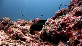Moraypaling en anemoonactinia met clownvissen onderwater op zeebedding stock video