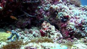 Moraypaling en anemoonactinia met clownvissen onderwater op zeebedding stock footage