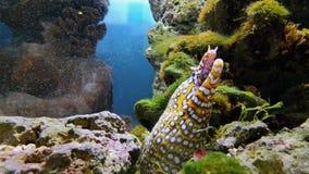Moraypalingen of Muraenidae op zeebedding stock footage