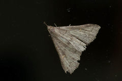 Morbid Owlet Moth. Resting on a dusty window Stock Images