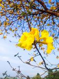 Morceau d'arbre d'or Image stock