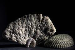 Morceau de corail et un coquillage Photo libre de droits