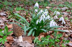 Black morel mushroom and big cluster of Snowdrops. Morchella conica or Black morel mushroom sharing habitat with big cluster of early spring Snowdrops flowers royalty free stock images