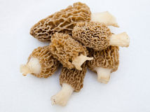 Morchella Morels Sponge Mushrooms Royalty Free Stock Photography
