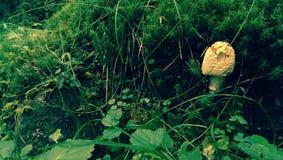 Morchella mushroom Stock Image