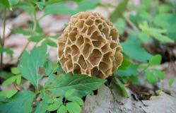 Morchella selvagem do cogumelo do Morel da mola esculenta delicacy imagem de stock royalty free