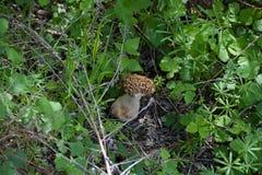 Morchella vulgaris, una seta comestible fotos de archivo