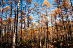 Mordaga autumn scenery. The hulunbuir autumn in China Royalty Free Stock Images