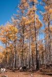 Mordaga autumn scenery. The hulunbuir autumn in China Royalty Free Stock Photography