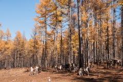 Mordaga autumn scenery. The hulunbuir autumn in China Stock Photography