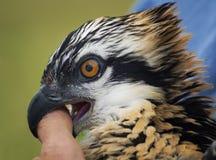 Mordez le pouce qui aide l'Osprey (le haliaetus de Pandion) images stock