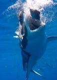 Mordida do tubarão Foto de Stock Royalty Free