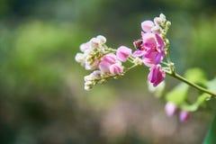 Mordisco de la abeja en rosa dulce Imagen de archivo libre de regalías