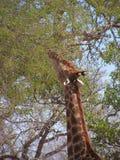 Mordisco ocupado de la jirafa en las ramas de un árbol imagen de archivo libre de regalías