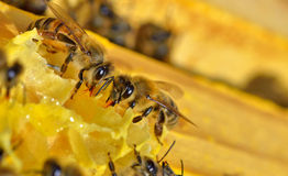More bees on a honeycell Stock Photography