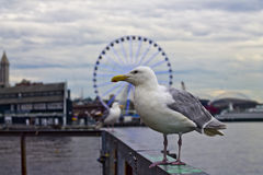 More Birds of Pier 57. Birds around Pier 57 of Seattle's Elliott Bay with the Great Wheel - a giant Ferris wheel with an overall height of 175 feet - in the Stock Photos