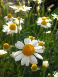 Chamomile. More of chamomile stock images