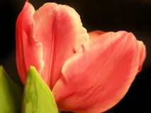 Coral Tulip royalty free stock photo