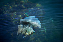 More depth jellyfish floating in the sea lagoon as a result of t Stock Image