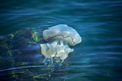 More depth jellyfish floating in the sea lagoon as a result of t Stock Photography