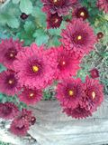 More Mums. Flowers garden color beauty nature stock photos