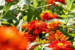 More orange Flower 32. Royalty Free Stock Images
