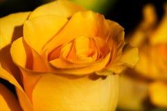 More shades of orange. Sun on an orange rose reveals the many shades of orange it holds Stock Images