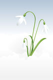 More snowdrops Royalty Free Stock Image