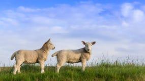 More Spring Lambs Stock Photos