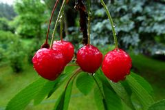 More tasty red cherries covered with a fresh rain drops. 2. Tasty red cherries covered with a fresh rain drops. With some green leaves in the background stock images