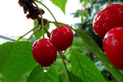 More tasty red cherries covered with a fresh rain drops. 3. Tasty red cherries covered with a fresh rain drops. With some green leaves in the background stock image