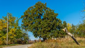 Quercus cerris. More than 200 year old oak tree is one of the symbols of Varbovchets. You can`t miss it - near the exit of the village you have to pass by it Stock Photography