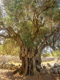 More than 2000 years old wild olive tree. In a beautiful place Lun on the island of Pag stock photo