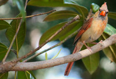 More to the right? Young Cardinal Royalty Free Stock Image