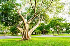 More of tree and Tree branches are parkland in Bangkok, Thailand. Grass is foreground in this picture Stock Image