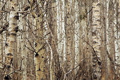 More Tree's. More interesting shapes and colours that make this woodland wonderful Royalty Free Stock Image
