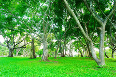 More of tree and Tree branches are parkland. In Bangkok, Thailand. Grass is foreground in this picture Stock Images