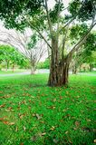 More of tree and Tree branches are parkland in Bangkok, Thailand. Grass is foreground in this picture Stock Images