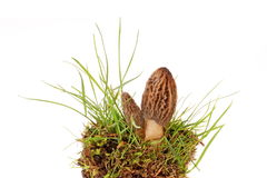 Morel. Mushroom. morchella esculenta. Valuable, edible fungi Royalty Free Stock Images