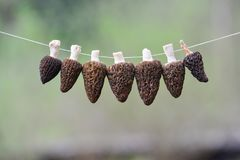 Morel drying - six Black Morel mushrooms on a string. Morels in process of drying on strong, white string against blurred green background with copy space Stock Photography
