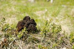 Morel (esculenta Gyromitra) Fotografering för Bildbyråer