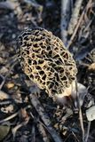 Morel on Forest Floor stock photos