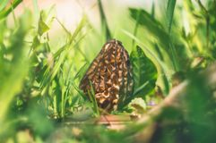 Morel in a green grass in spring sunny day stock photo