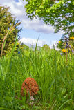 Morel growing in the grass Stock Images