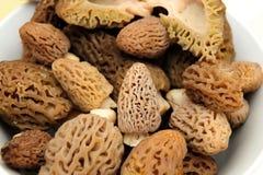 Morel Mushroom Stock Photography