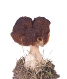 Morel mushroom Stock Image