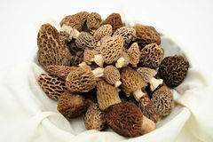 Morel Mushroom Royalty Free Stock Image