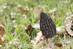 Morel mushroom Royalty Free Stock Photos