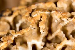 Morel mushroom as a background. macro. In the park in nature Royalty Free Stock Photography