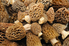 Morel Mushroom Background Stock Image